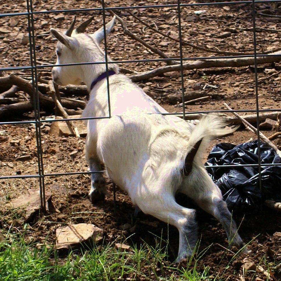 Goat houdini