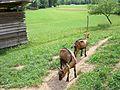 Goats in Slovenia (4757684874).jpg