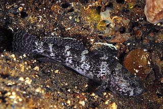 <i>Gobius</i> genus of fishes