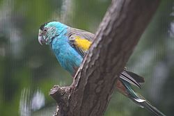 Golden-shouldered Parrot (Psephotus chrysopterygius)-6.jpg