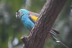 Golden-shouldered parrot - Male at Lone Pine Koala Sanctuary, Brisbane