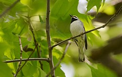Golden-winged Warbler (17347888005).jpg