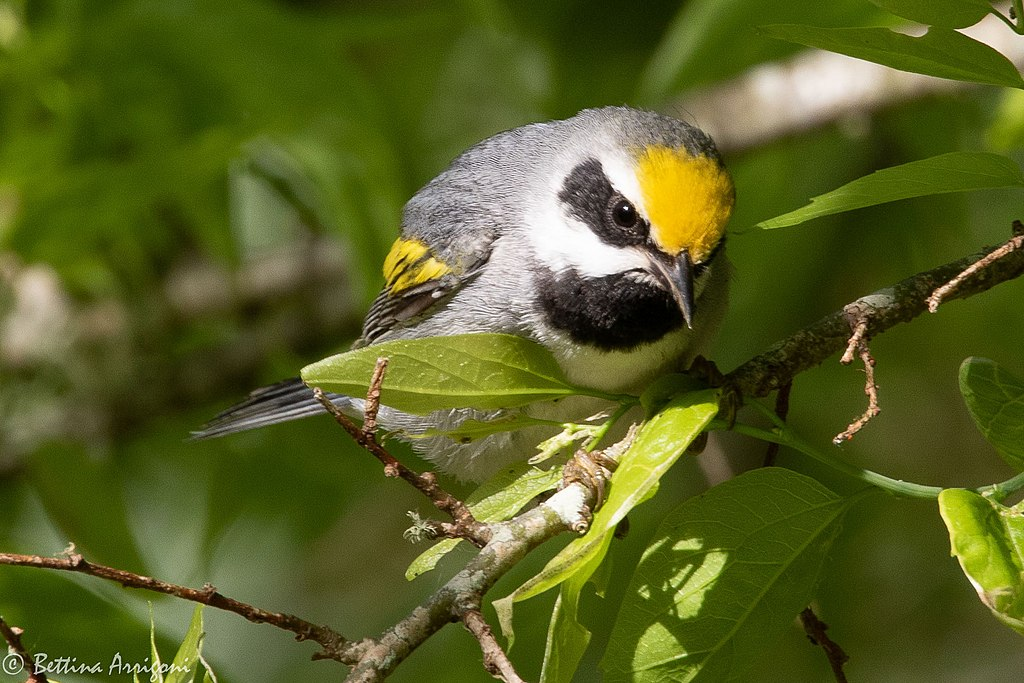 Golden-winged Warbler (male) Sabine Woods TX 2018-04-26 08-11-39 (27221201027)