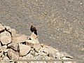 Golden Eagle (Aquila chrysaetos) (39560201312).jpg