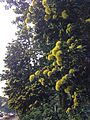 Golden penda (Xanthostemon chrysanthus) along Stamford Road outside Singapore Management University - 20140416-02.jpg