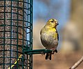 Goldfinch at Green-Wood Cemetery (50036).jpg