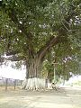 Golra Station (More than 100 years old tree).jpg