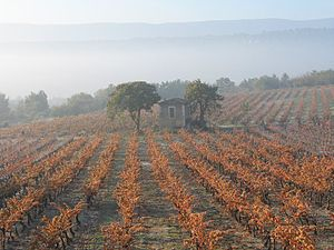 Goult - Vineyard in autumn