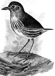 Santa Marta antpitta species of bird