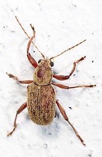 <i>Fidia</i> Genus of leaf beetles