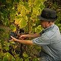 Grape harvest in Alt Empordà (Catalonia).jpg