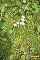 Grass of Parnassus (Grubig.) (23974754783).jpg