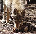 Gray wolf (female)2.jpg