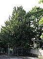 Graz Umgebung Gratwein Taxus.JPG