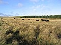 Grazing cattle - geograph.org.uk - 291976.jpg