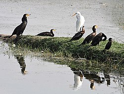 Great Cormorants with Darter, other Cormorants & Great Egret I2 IMG 9369.jpg