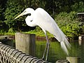 Great Egret 379.JPG