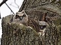 Great Horned Owl (33214479941).jpg