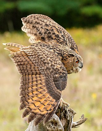Horned owl - Eurasian Eagle Owl Bubo bubo