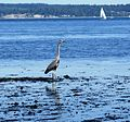 Great blue heron - Flickr - brewbooks.jpg