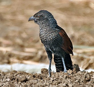 Greater coucal - Immature of nominate race showing barred/speckled underside. Haryana, India