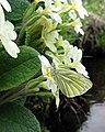 Green-veined white (Pieris napi) - geograph.org.uk - 806802.jpg