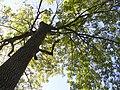 Green Ash (Swamp Ash) - Fraxinus pennsylvaniaca P9190049.jpg