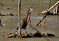 Green Heron (7332769308).jpg