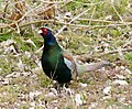 Green Pheasant.jpg