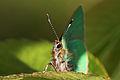 Green hairstreak (Callophrys rubi) head.jpg