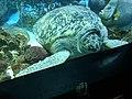 Green sea turtle - giant.jpg