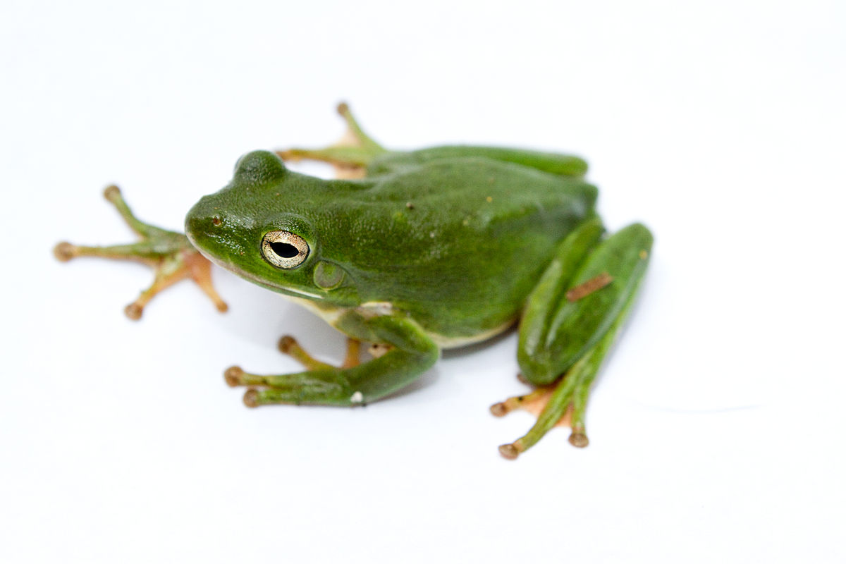 American green tree frog Wikipedia
