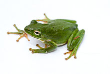 Green treefrog.jpg