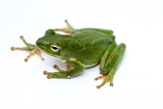 American green tree frog - Image: Green treefrog