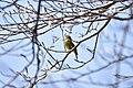 Greenfinch PT.jpg