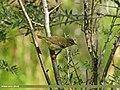 Greenish Warbler (Phylloscopus trochiloides) (15895117932).jpg