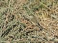 Greenish Warbler (Phylloscopus trochiloides) (31638239797).jpg