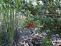 Grevillea alpina 1.jpg