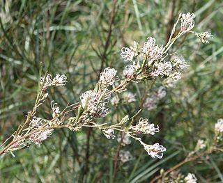 <i>Grevillea endlicheriana</i> species of plant