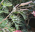 Grevillea superb branch tip.jpg