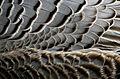 Grey Feathers (8677581423).jpg