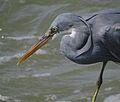 Grey Heron Beypore.jpg