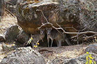 Chiltern-Mt Pilot National Park - Grey kangaroos