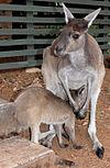 Grey Roo with Joey SMC 2006.jpg