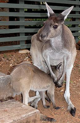 Klokan velký s mládětem