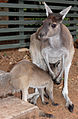 Grey Roo with Joey SMC 2006.jpg