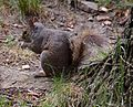 Grey squirrel, Central Park, New York.jpg