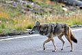 Grinning Coyote Bandelier Los Alamos NM.jpg
