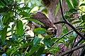 Grizzled Giant Squirrel in Sri Lanka 04.jpg