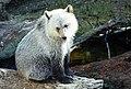 Grizzly cub (ursus arctos horribilis).jpg